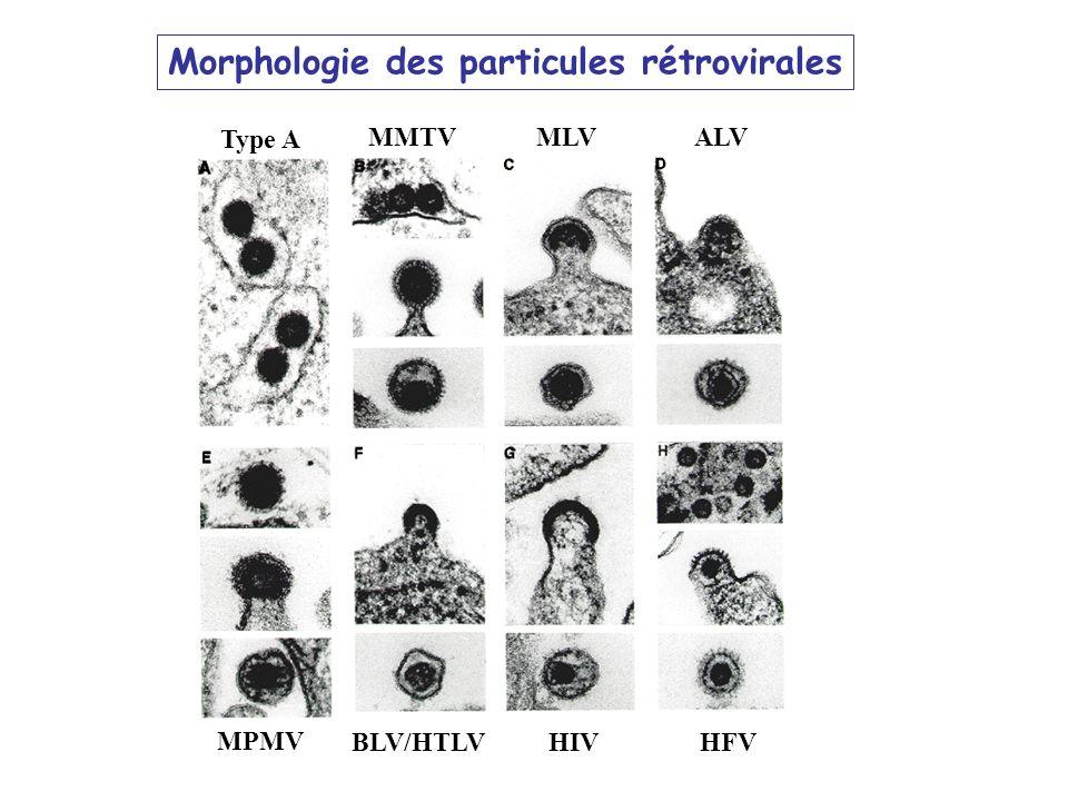 Morphologie des particules rétrovirales