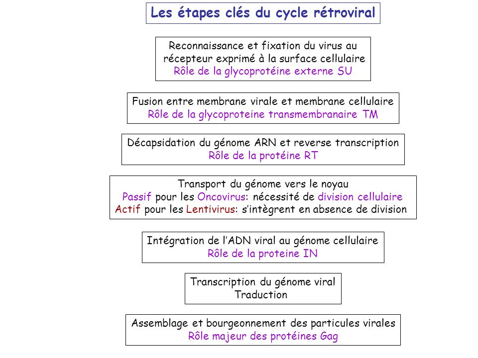 Les étapes clés du cycle rétroviral