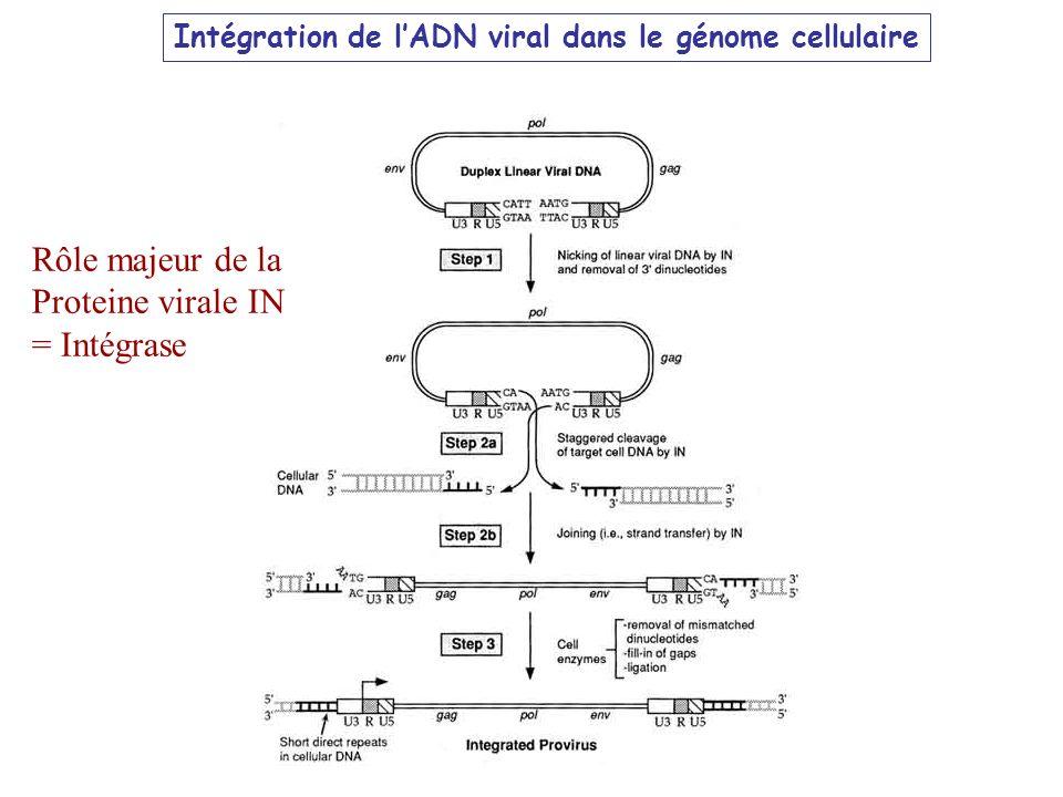 Rôle majeur de la Proteine virale IN = Intégrase