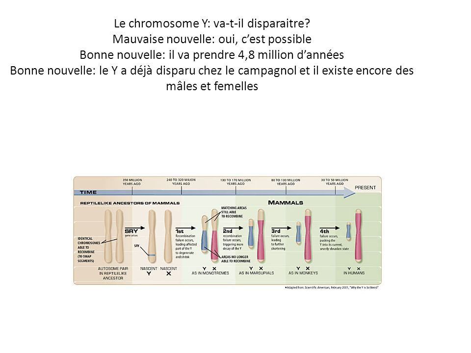 Le chromosome Y: va-t-il disparaitre