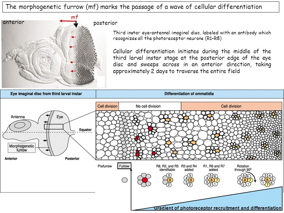 The morphogenetic furrow (mf) marks the passage of a wave of cellular differentiation