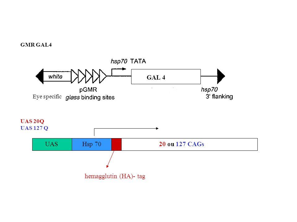 GAL 4 UAS Hsp 70 20 ou 127 CAGs hemagglutin (HA)- tag GMR GAL4