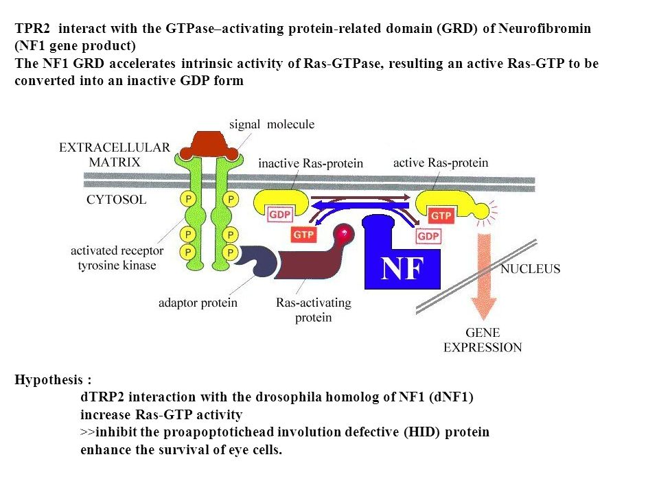 dTRP2 interaction with the drosophila homolog of NF1 (dNF1)