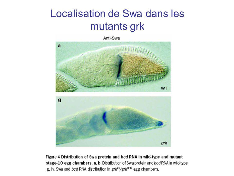 Localisation de Swa dans les mutants grk