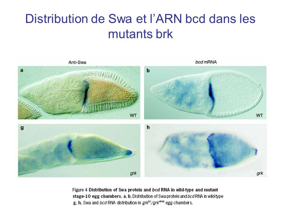 Distribution de Swa et l'ARN bcd dans les mutants brk