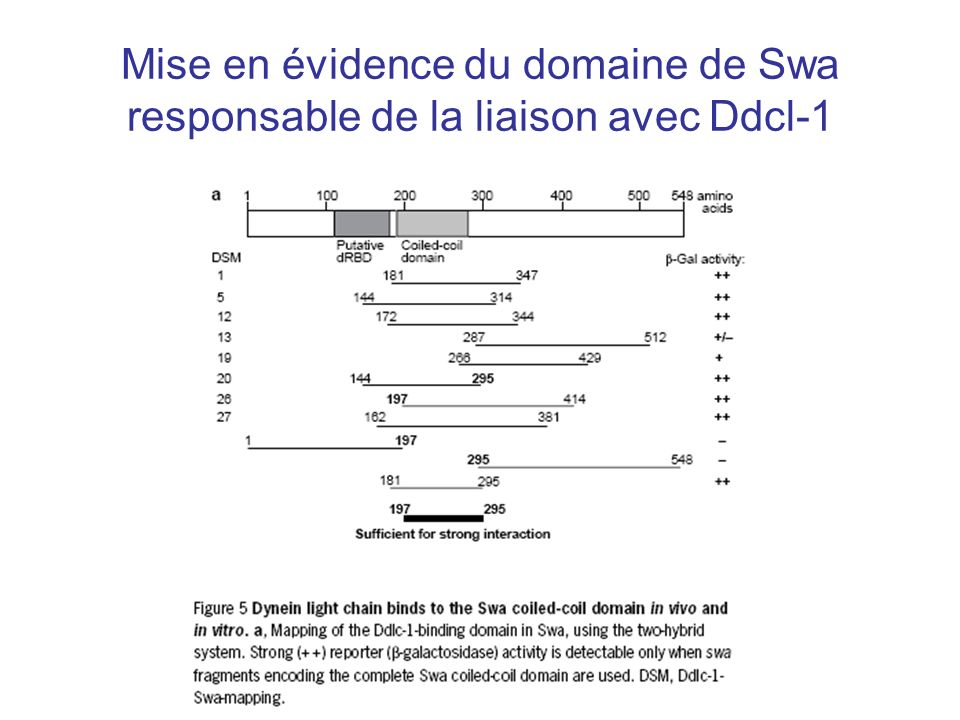 Mise en évidence du domaine de Swa responsable de la liaison avec Ddcl-1