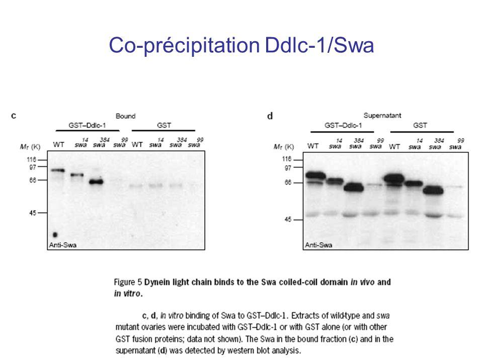 Co-précipitation Ddlc-1/Swa