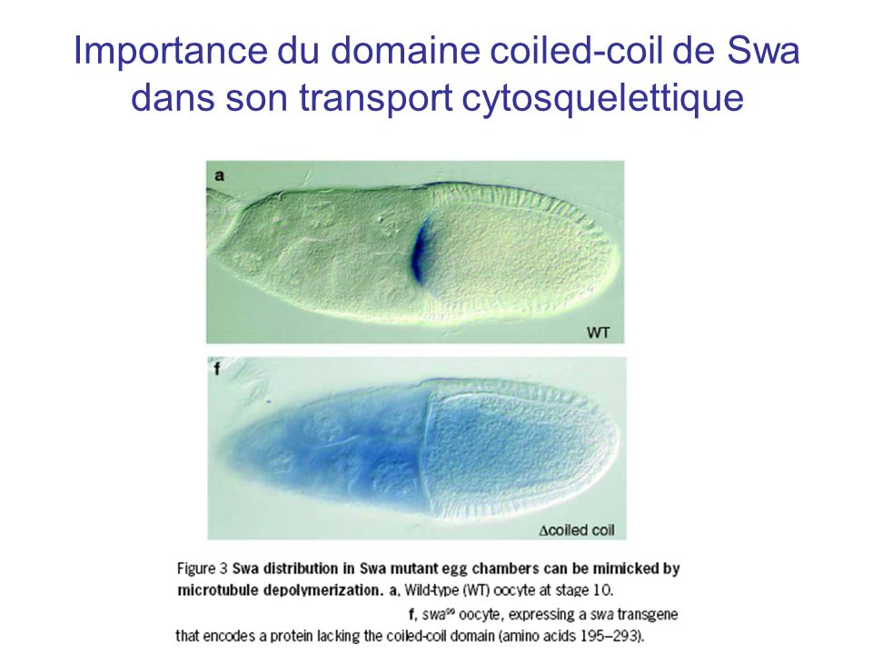 Importance du domaine coiled-coil de Swa dans son transport cytosquelettique
