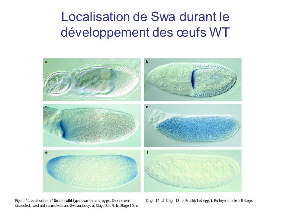 Localisation de Swa durant le développement des œufs WT