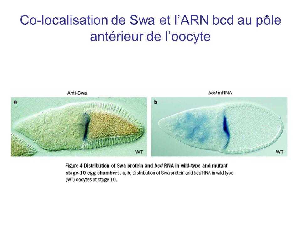 Co-localisation de Swa et l'ARN bcd au pôle antérieur de l'oocyte