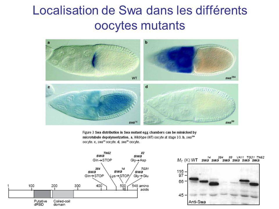 Localisation de Swa dans les différents oocytes mutants