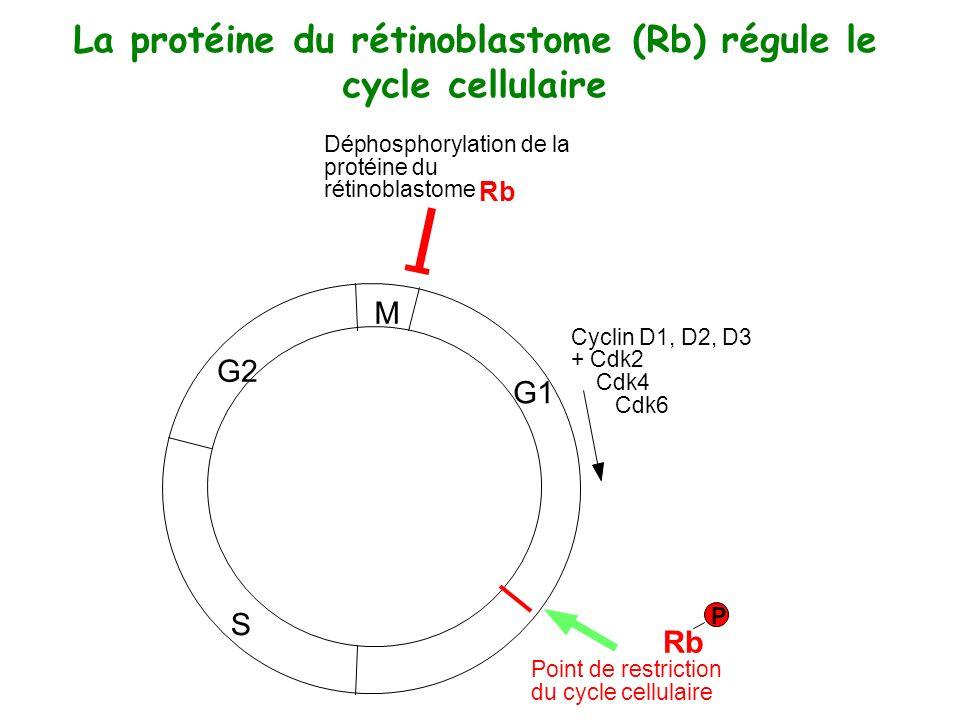 La protéine du rétinoblastome (Rb) régule le