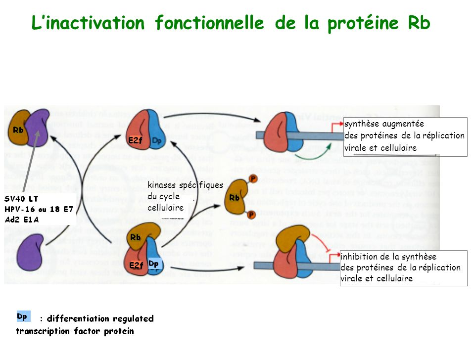 L'inactivation fonctionnelle de la protéine Rb