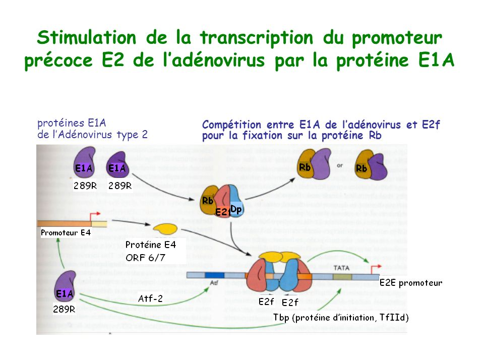 Stimulation de la transcription du promoteur