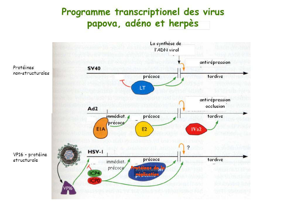 Programme transcriptionel des virus