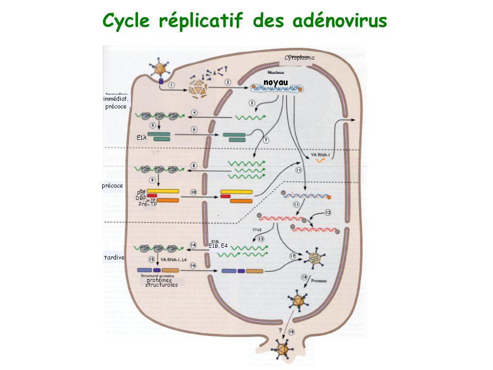 Cycle réplicatif des adénovirus
