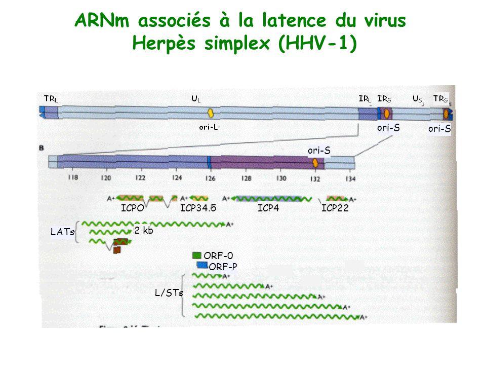 ARNm associés à la latence du virus