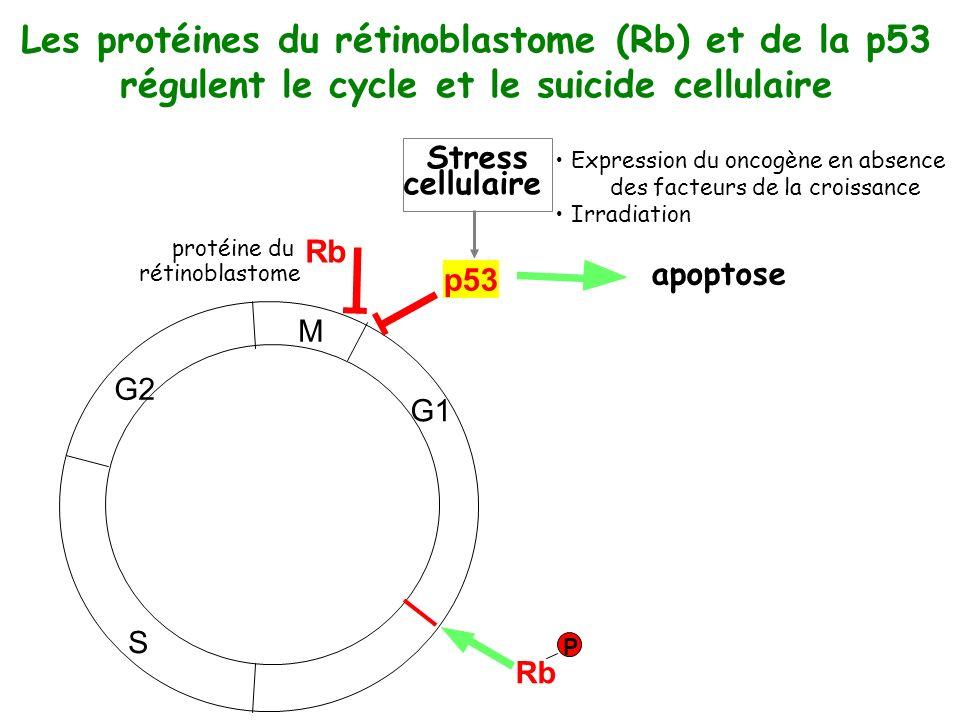 Les protéines du rétinoblastome (Rb) et de la p53