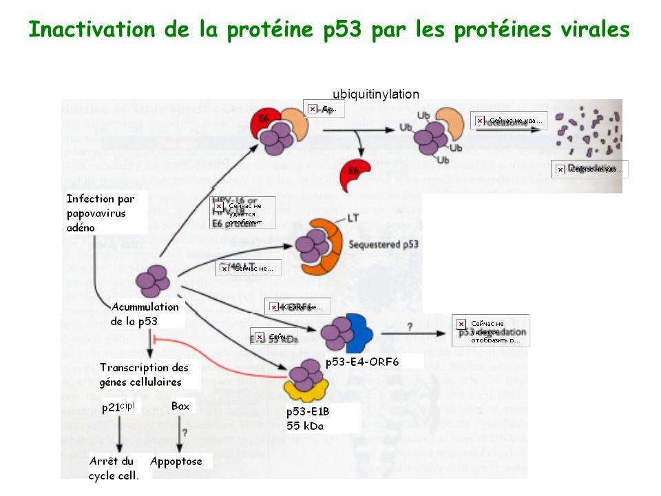 Inactivation de la protéine p53 par les protéines virales