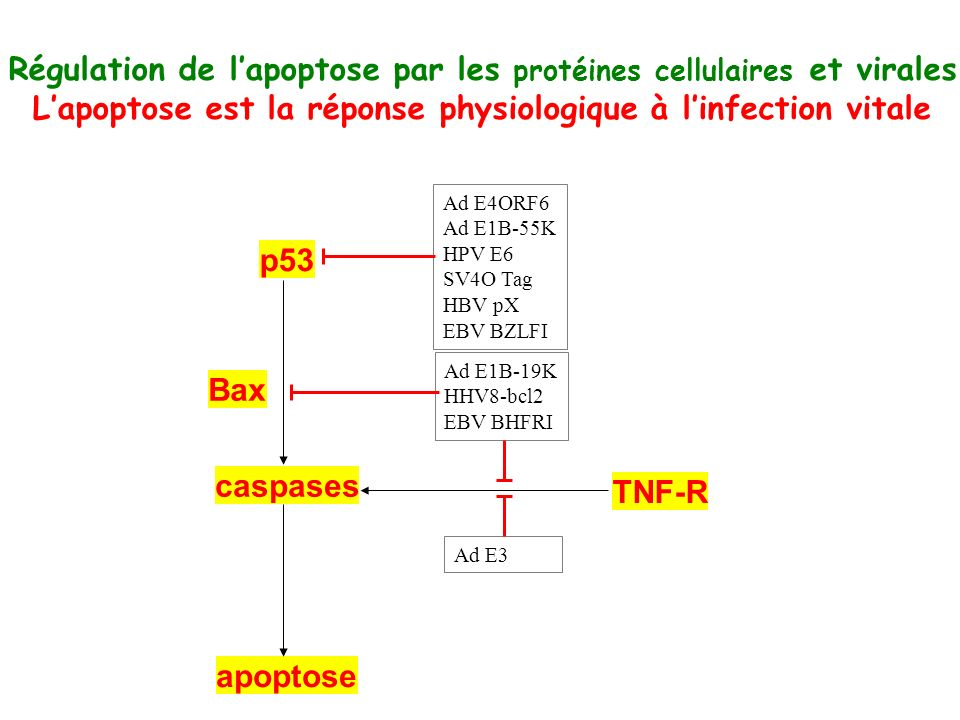 Régulation de l'apoptose par les protéines cellulaires et virales