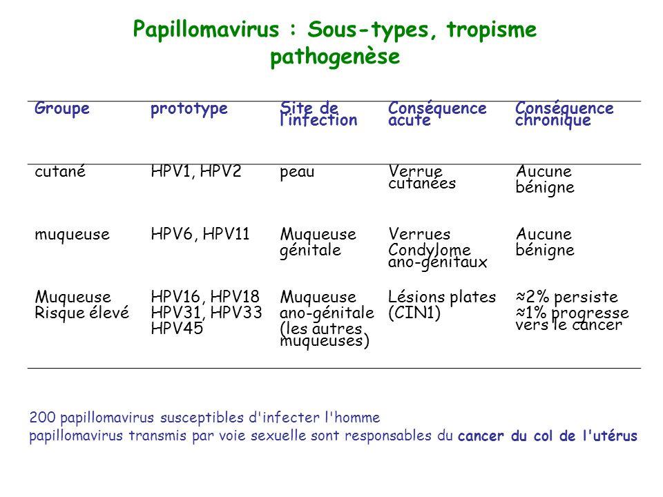 Papillomavirus : Sous-types, tropisme