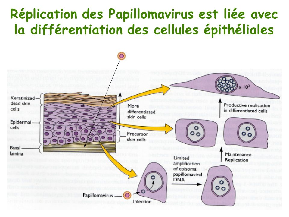 Réplication des Papillomavirus est liée avec
