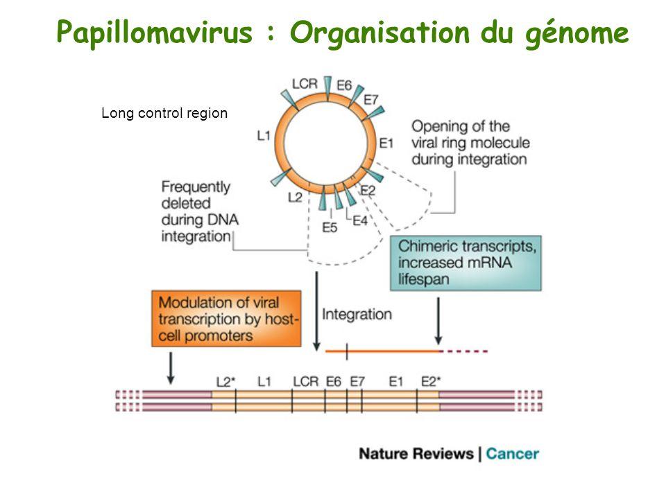 Papillomavirus : Organisation du génome