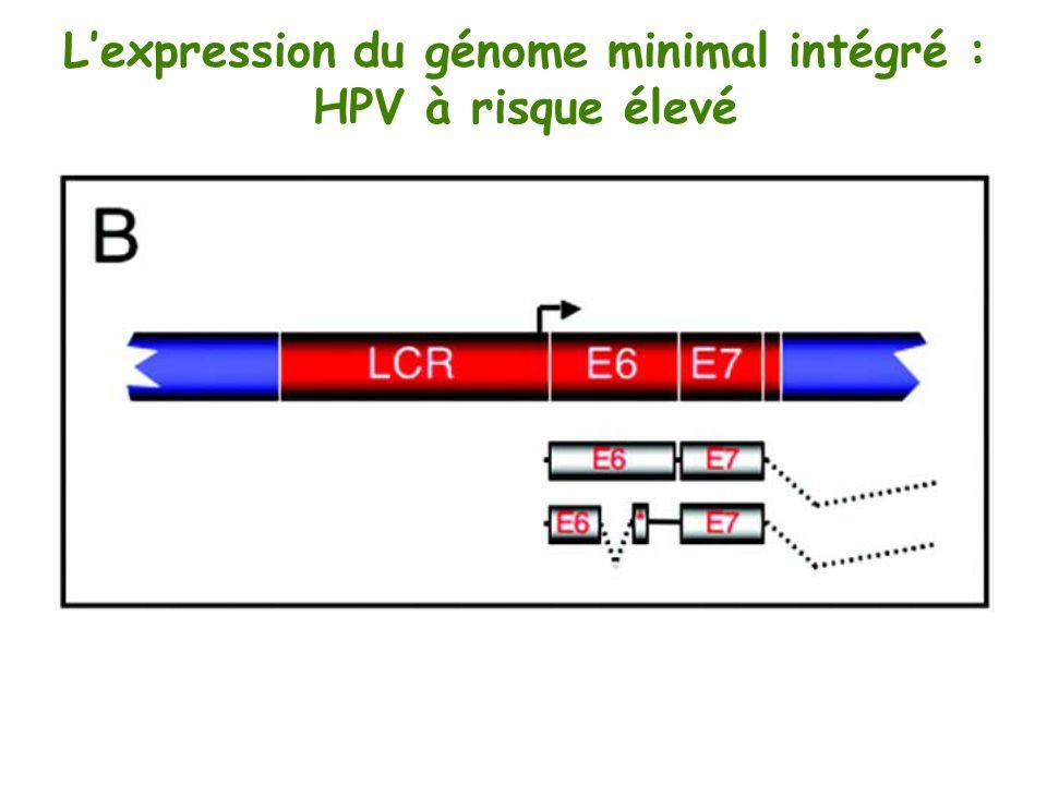 L'expression du génome minimal intégré :