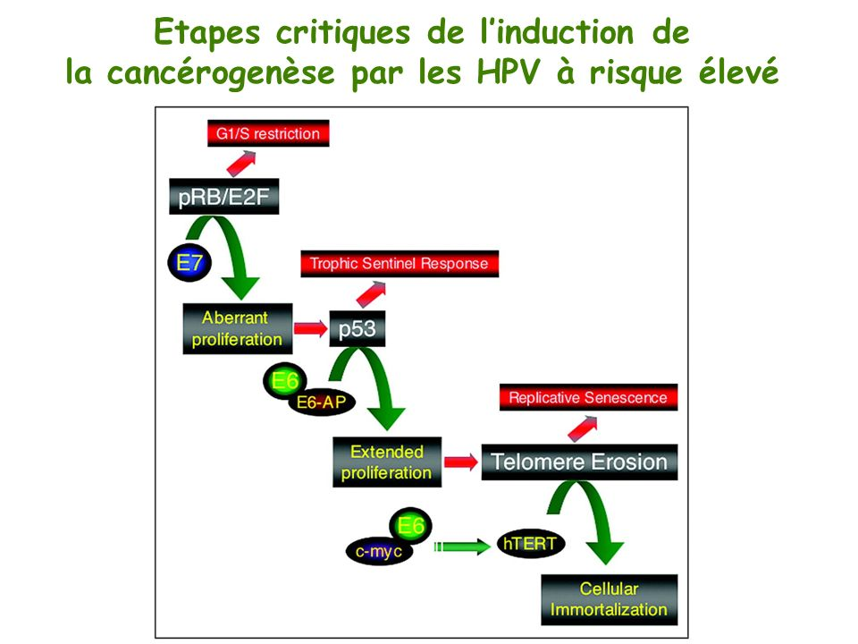 Etapes critiques de l'induction de