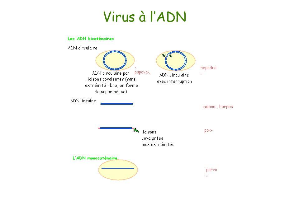 Virus à l'ADN