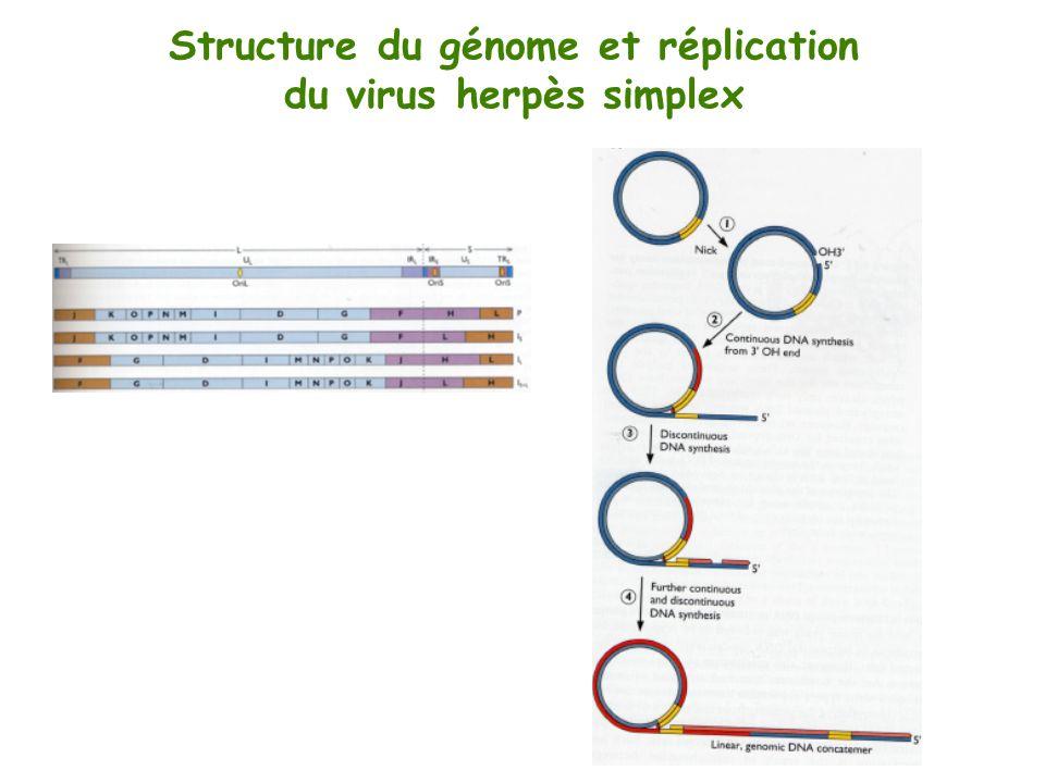 Structure du génome et réplication du virus herpès simplex