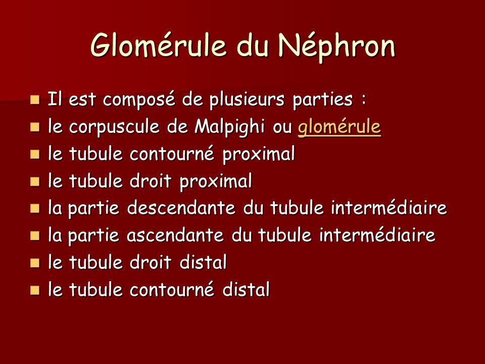 Glomérule du Néphron Il est composé de plusieurs parties :