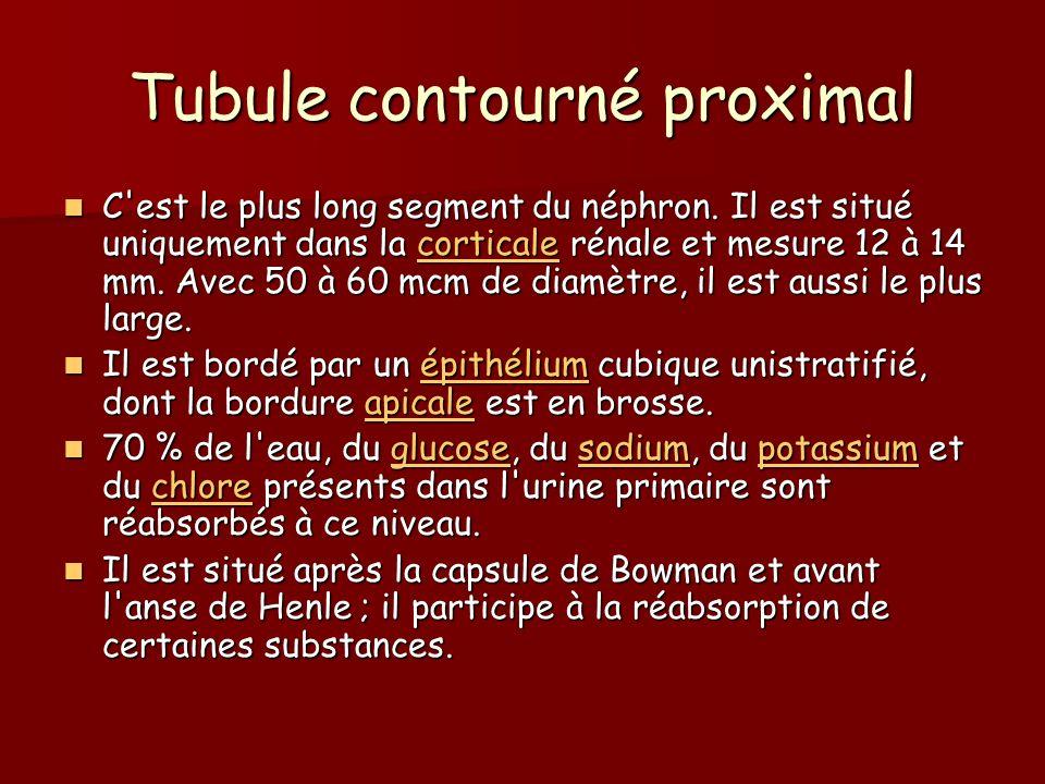 Tubule contourné proximal
