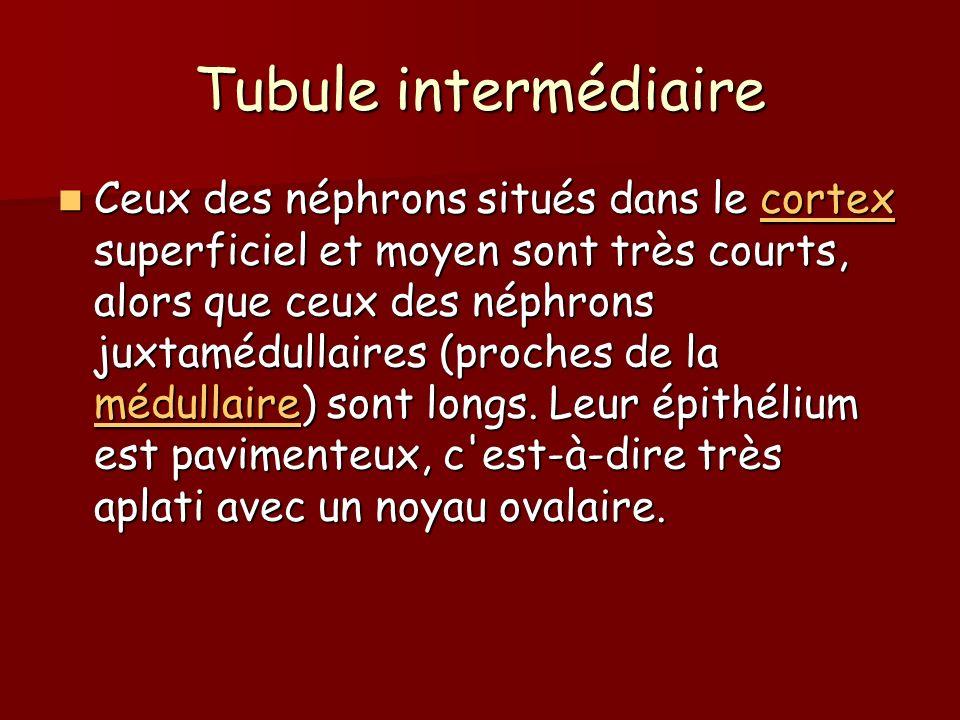 Tubule intermédiaire