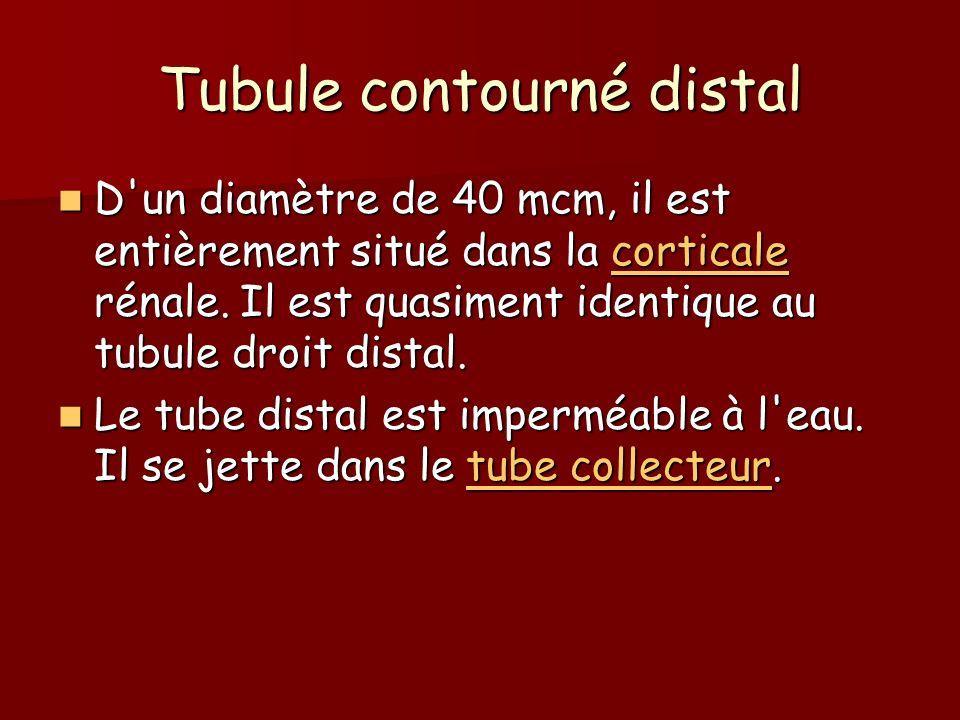 Tubule contourné distal