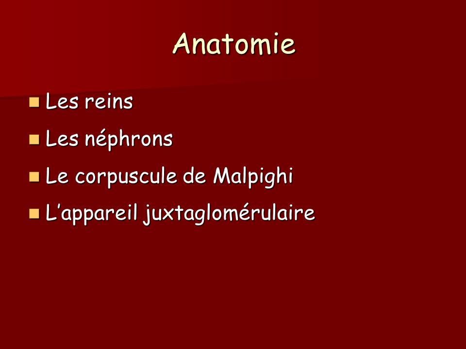 Anatomie Les reins Les néphrons Le corpuscule de Malpighi