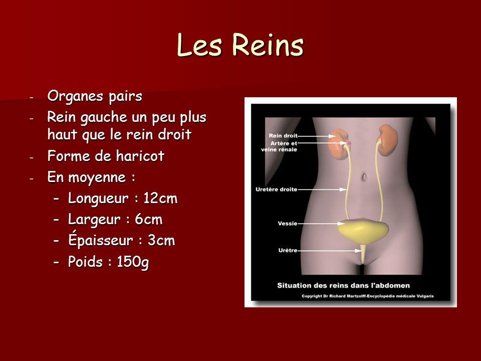 Les Reins Organes pairs Rein gauche un peu plus haut que le rein droit