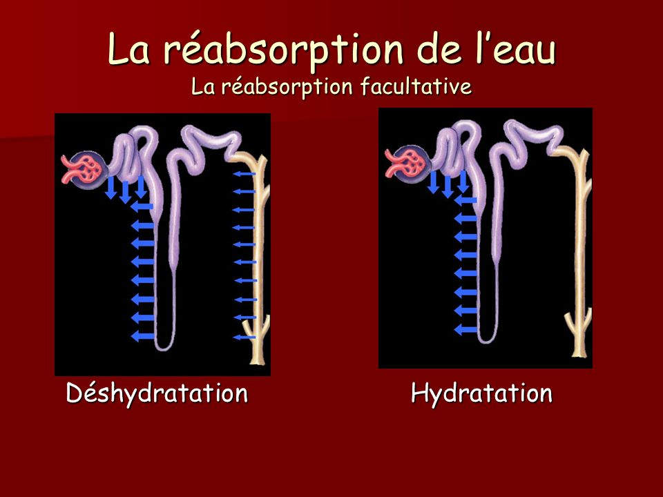 La réabsorption de l'eau La réabsorption facultative