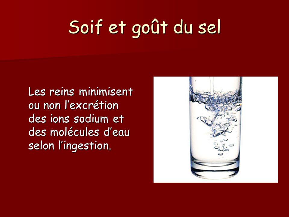 Soif et goût du sel Les reins minimisent ou non l'excrétion des ions sodium et des molécules d'eau selon l'ingestion.