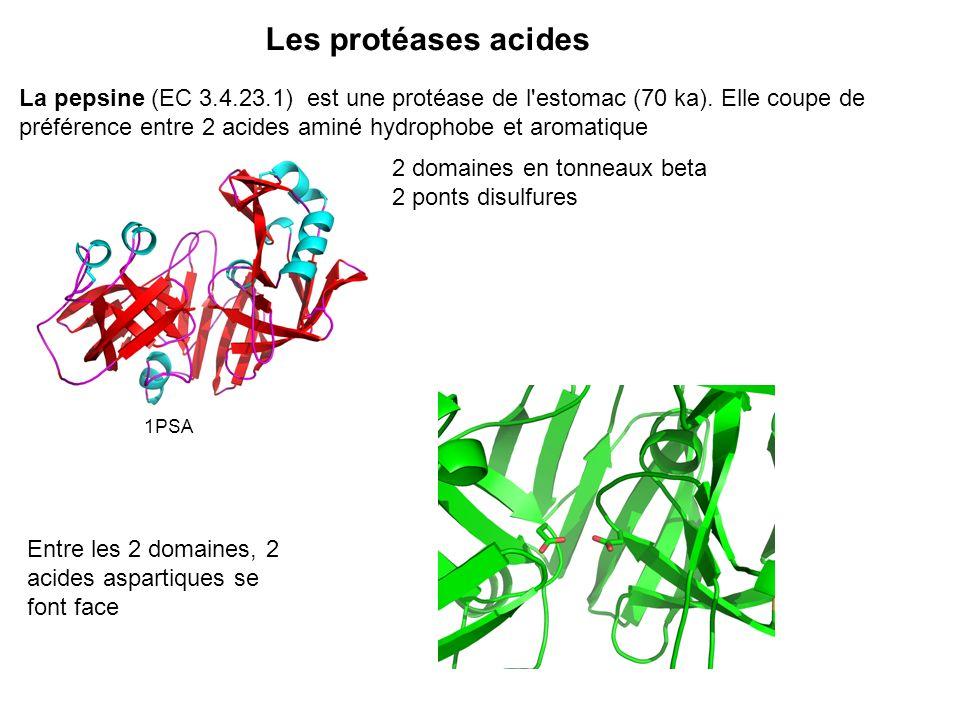 Les protéases acides