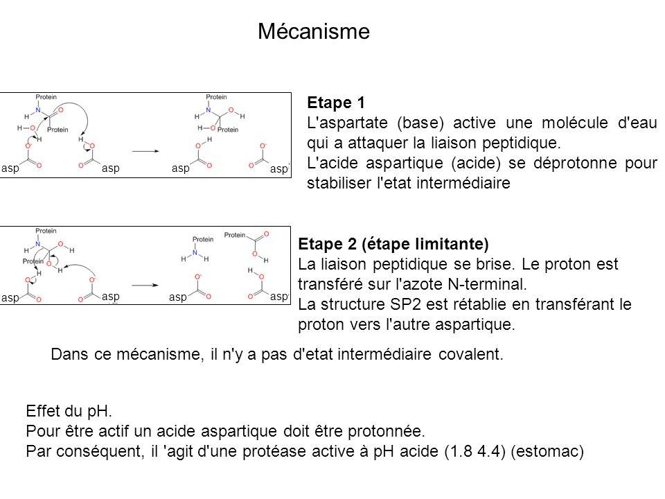 MécanismeEtape 1. L aspartate (base) active une molécule d eau qui a attaquer la liaison peptidique.