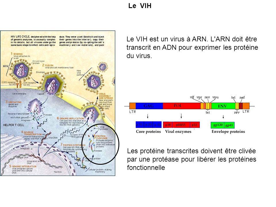 Le VIH Le VIH est un virus à ARN. L ARN doit être transcrit en ADN pour exprimer les protéine du virus.