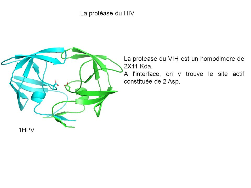 La protéase du HIVLa protease du VIH est un homodimere de 2X11 Kda. A l interface, on y trouve le site actif constituée de 2 Asp.