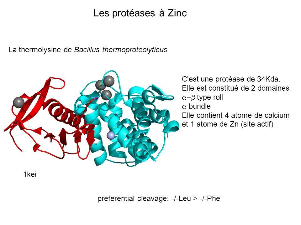 Les protéases à Zinc La thermolysine de Bacillus thermoproteolyticus
