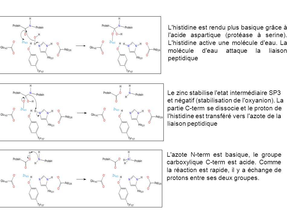 L histidine est rendu plus basique grâce à l acide aspartique (protéase à serine). L histidine active une molécule d eau. La molécule d eau attaque la liaison peptidique