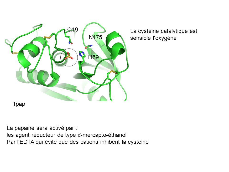 Q19La cystéine catalytique est sensible l oxygène. N175. H159. 1pap. La papaine sera activé par : les agent réducteur de type b-mercapto-éthanol.