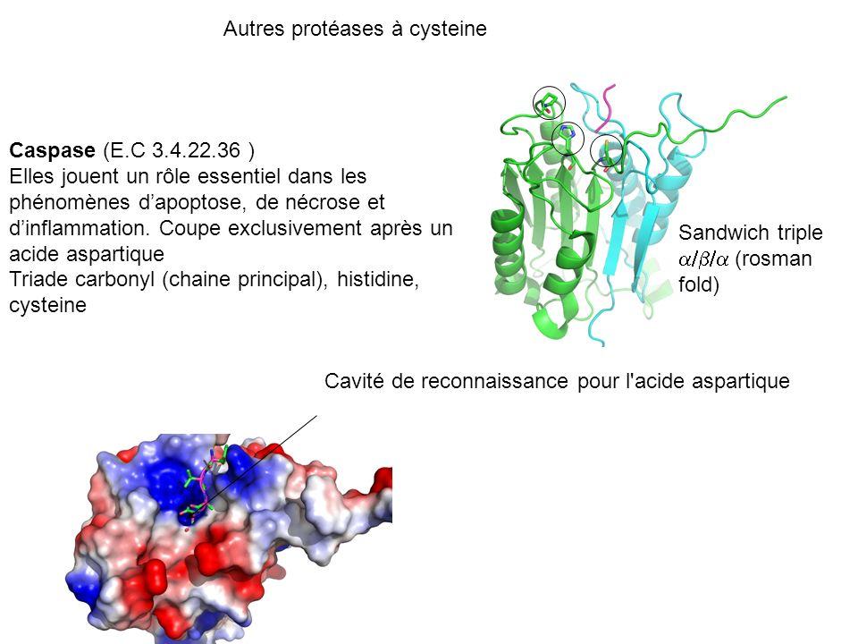 Autres protéases à cysteine