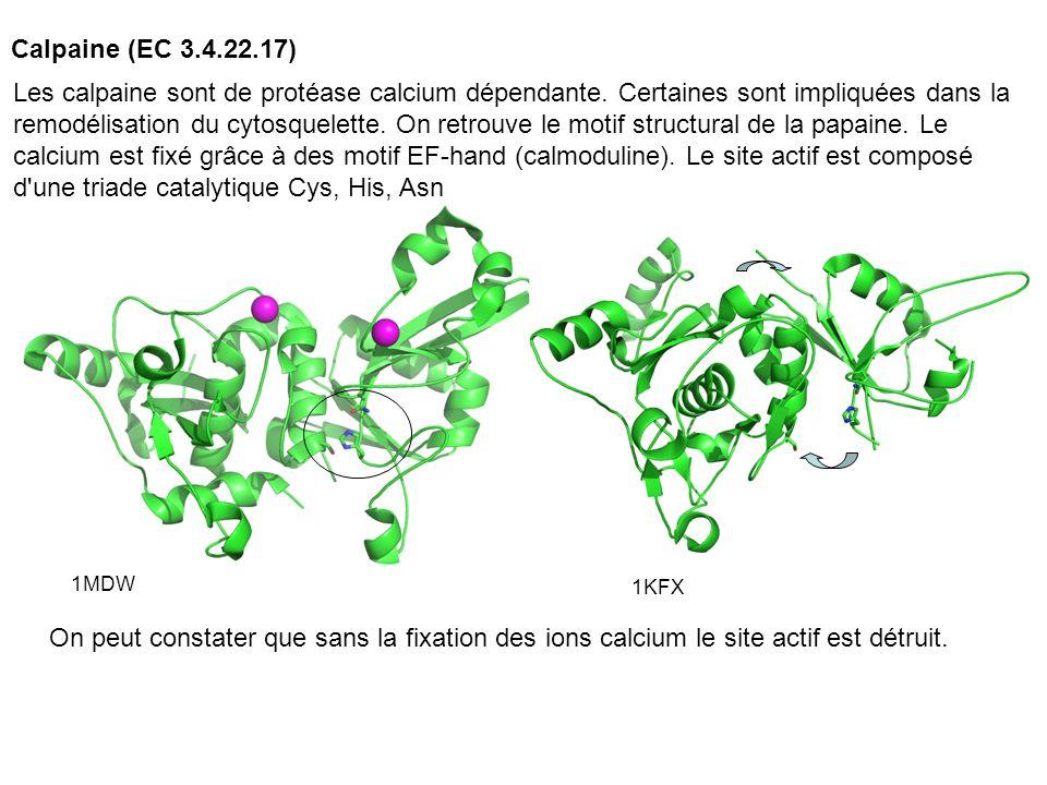 Calpaine (EC 3.4.22.17)