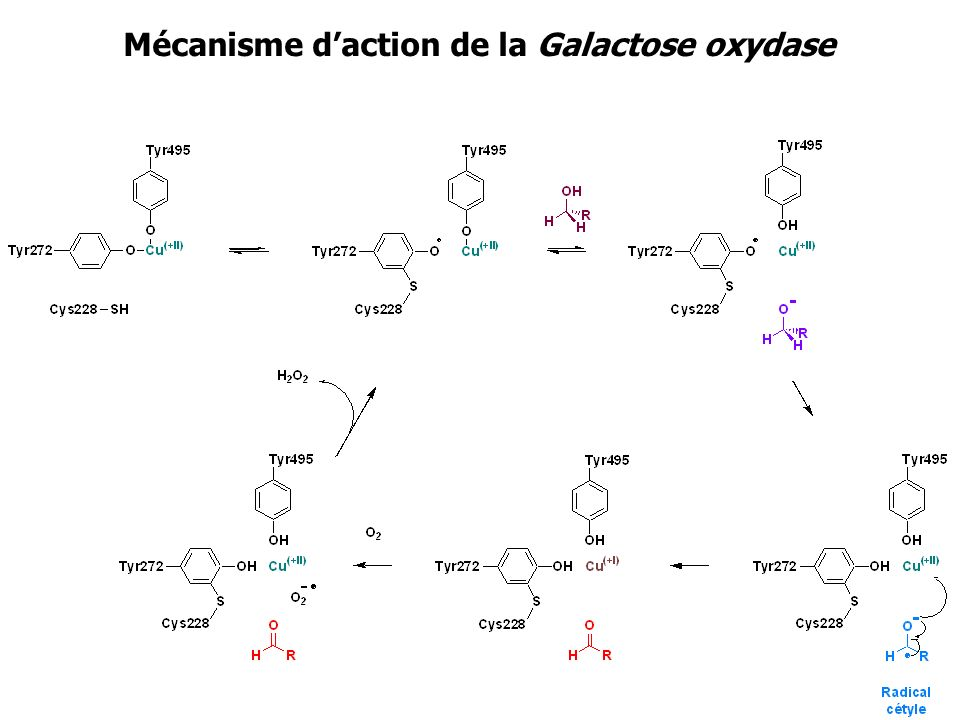 Mécanisme d'action de la Galactose oxydase