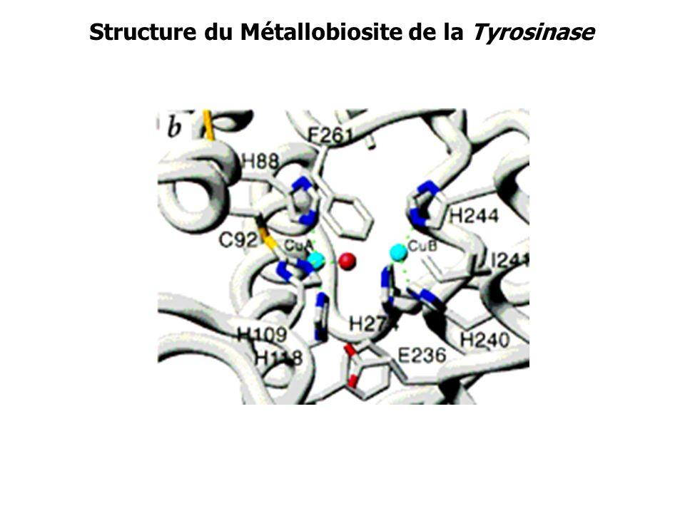 Structure du Métallobiosite de la Tyrosinase